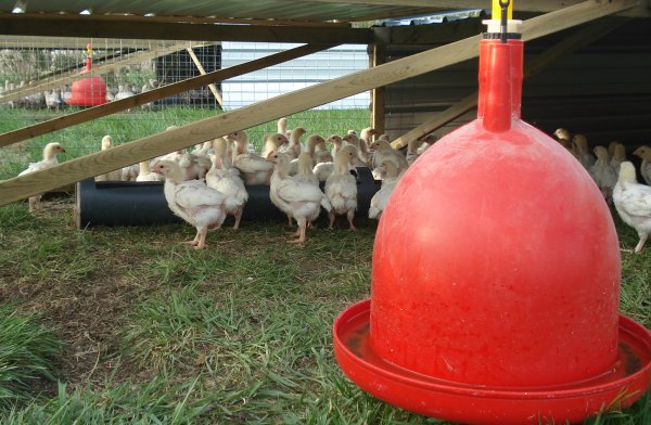 Our broiler chicks spend their life enjoy our nutrient rich pastures.