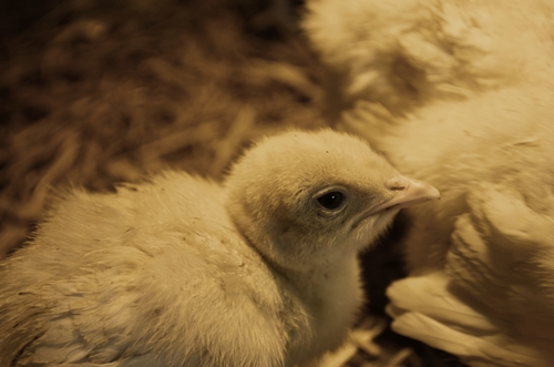 Our turkeys poults spend the few weeks of their life in a brooder shed before heading out to pasture.